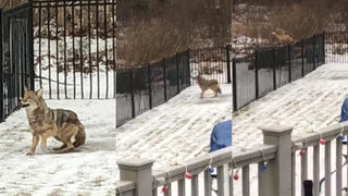 VIDEO: Coyote spotted jumping yard fence in Chesterfield Township