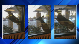 VIDEO: Crazed deer tries to jump through windows of Pinckney school