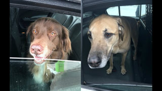 Rochester police looking for owners of 2 lost dogs