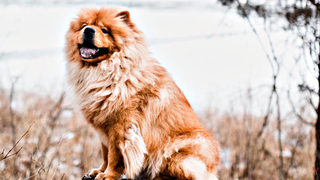 Meet Charlie the chow chow battling breed stigma in Ypsilanti
