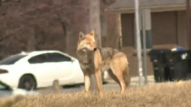 Neighbors concerned over coyote den near I-75 and Mack Avenue in Detroit