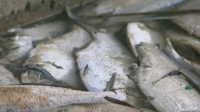 Thousands of dead fish are floating in the Rouge River: Here's why