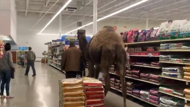 VIDEO: Man brings camel to Michigan PetSmart