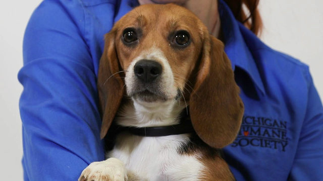 Beagles rescued from drug testing now up for adoption at Michigan Humane Society
