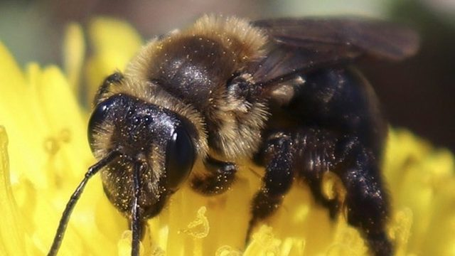 Wild bee species critical to pollination on the decline
