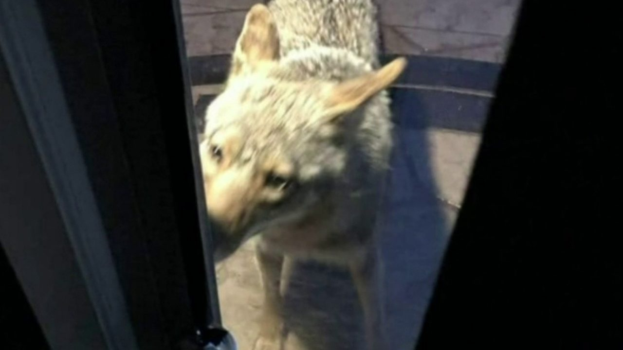 Shelby Township family concerned about neighborhood dogs after encounter with coyote at back door