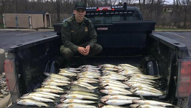 Michigan DNR conservation officers confiscate 80 walleye from Detroit&hellip&#x3b;