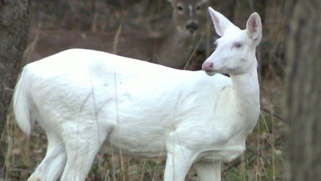 Rare albino deer stops traffic at Kensington Metropark
