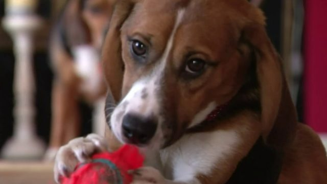 St. Clair Shores family adopts beagle tortured in Kalamazoo pesticide&hellip&#x3b;