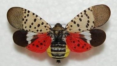 Spotted lanternflies could invade Michigan, experts warn