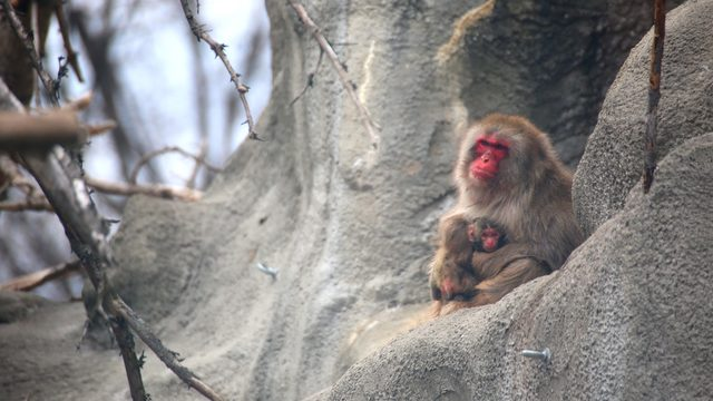 Detroit Zoo welcomes baby snow monkey
