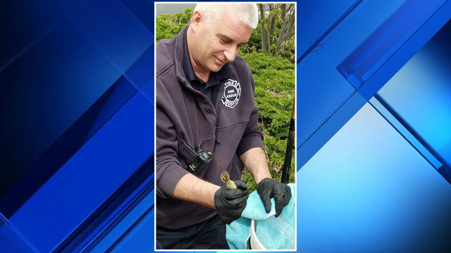 PHOTOS: Ann Arbor firefighters rescue ducklings from sewer