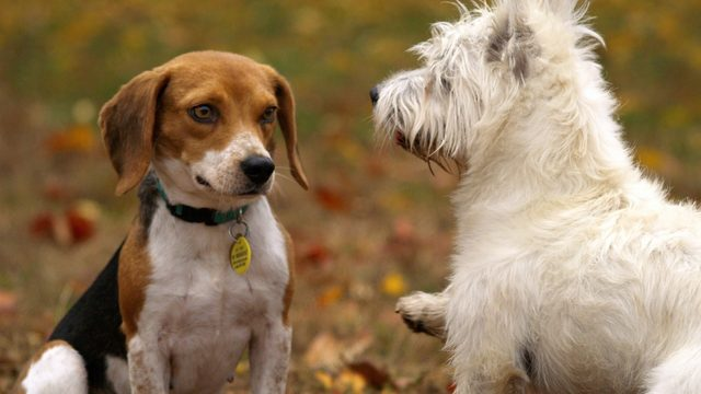 Dog disease that can be passed to humans confirmed in Iowa