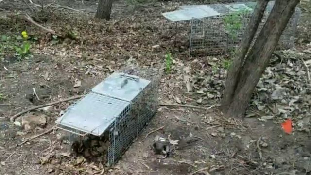 Numerous traps found at popular Troy park after dog gets caught in leg trap