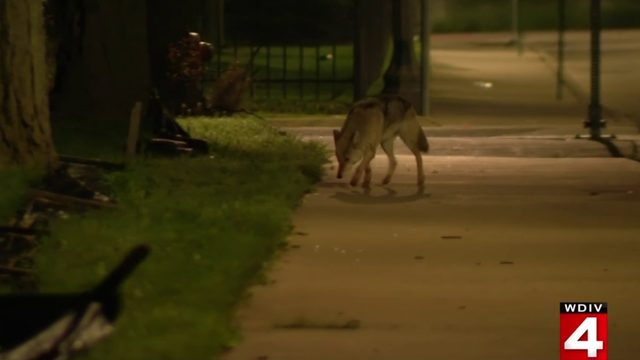 Coyote spotted roaming streets of Detroit