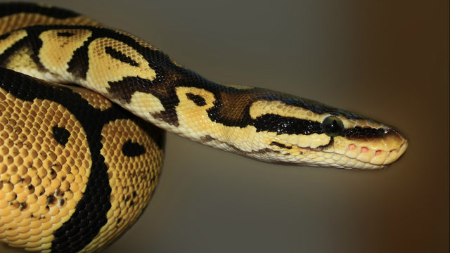 Florida man bitten by 4-foot snake that slithered out of toilet, police say