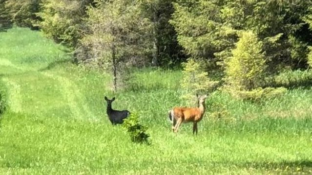 Rare black deer spotted in Northern Michigan