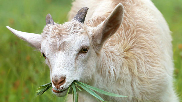 No tools needed: Goats to eat unwanted plants in Ann Arbor