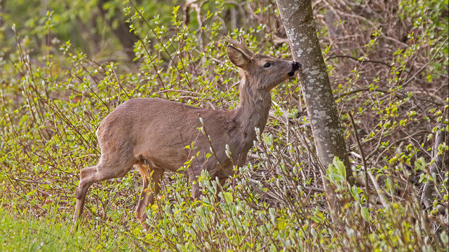 DNR: Consumption guidelines not needed for deer from Proud Lake…