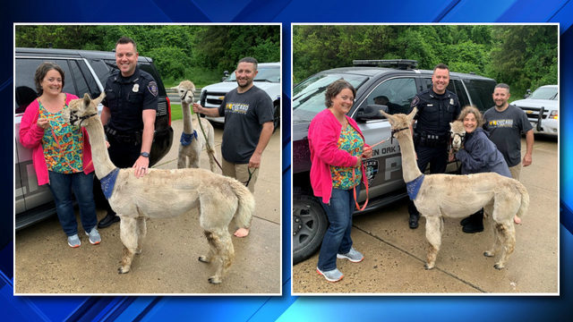 A wild yarn: 2 alpacas escape, herded back to Brighton home by police, neighbors