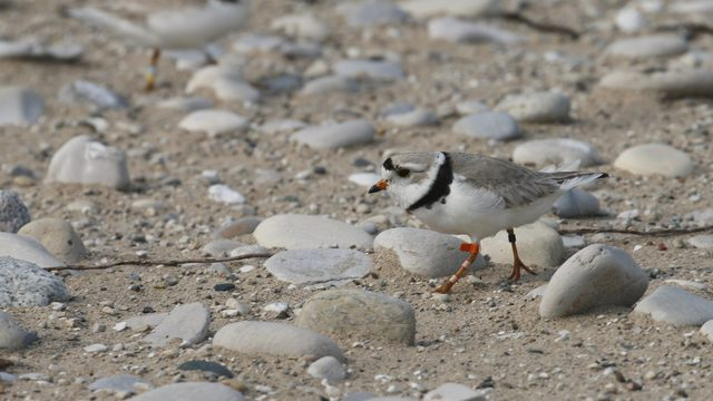 Overflowing Great Lakes pose new threat for endangered bird