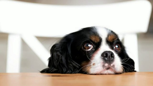 How puppy dog eyes evolved to comfort humans