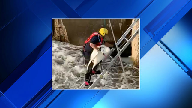WATCH: Plymouth Township firefighters rescue swan stuck in water in Hines Park
