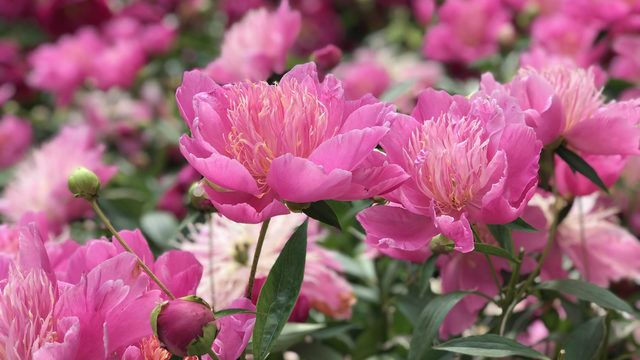 A glimpse at Ann Arbor's peonies as they pass peak bloom