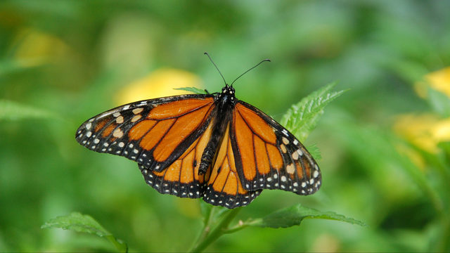 City of Ann Arbor golf courses join national effort to save monarch butterflies
