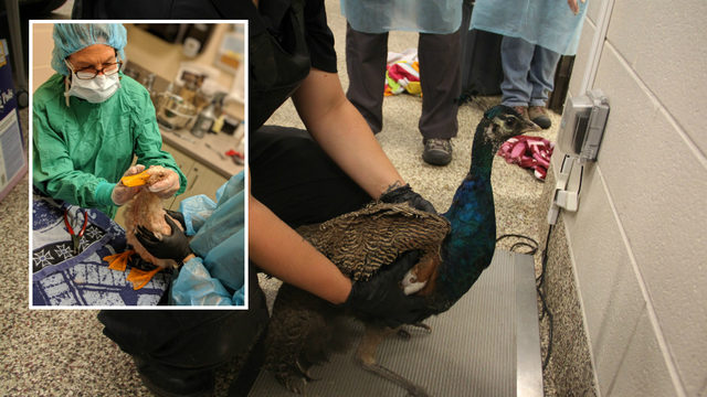 50 birds, including duck, peacock, rescued from Detroit home