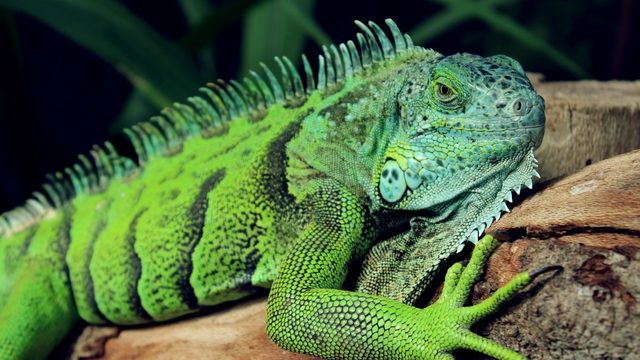 Florida is being invaded by green iguanas, homeowners are allowed to kill them