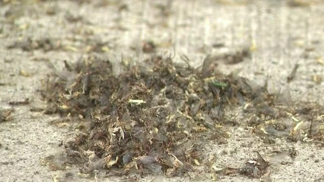 Grosse Pointe copes with fishfly invasion