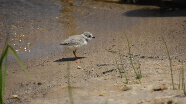 Endangered Great Lakes piping plover chick hatches at Detroit Zoo