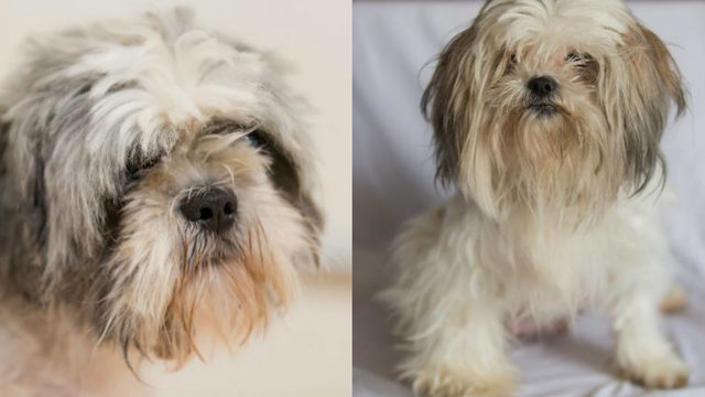 Dearborn animal shelter takes in numerous Shih Tzus to be put up for adoption