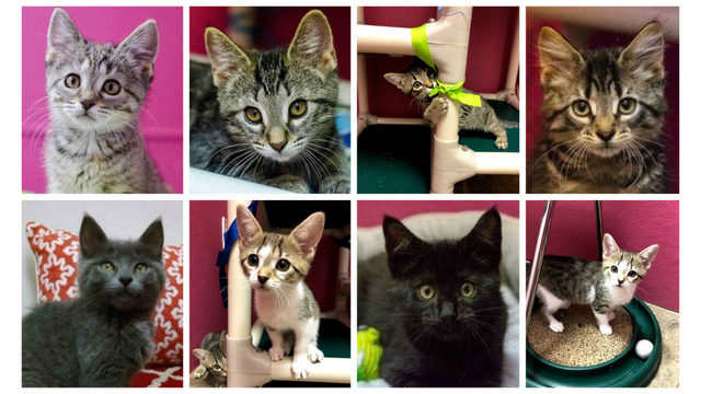 Oakland County animal shelters flooded with kittens available for adoption