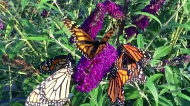 Welcoming the Monarchs to Metro Detroit
