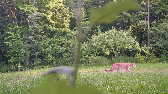 DNR confirms cougar sighting in Northern Michigan