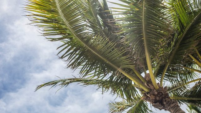 Florida's iconic palm trees threatened by invasive disease