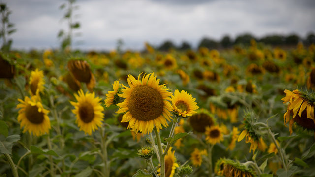 Michigan travel: Sunflower field with thousands of flowers brightens…
