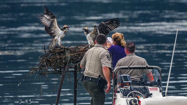 Southeast Michigan's oldest known osprey turns 20