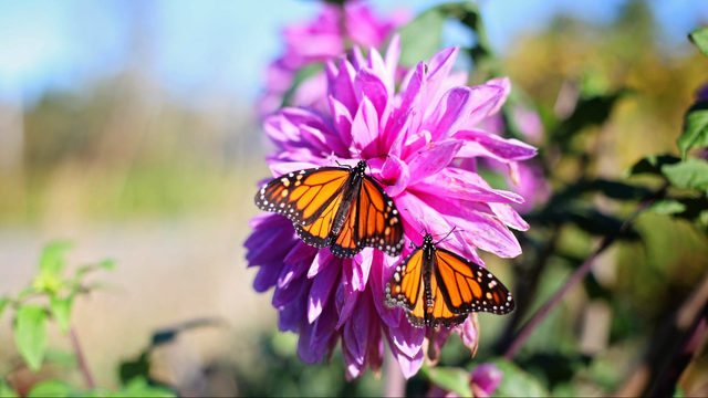 Annual Monarch Migration Festival coming Sept. 8 to Ann Arbor's Gallup Park