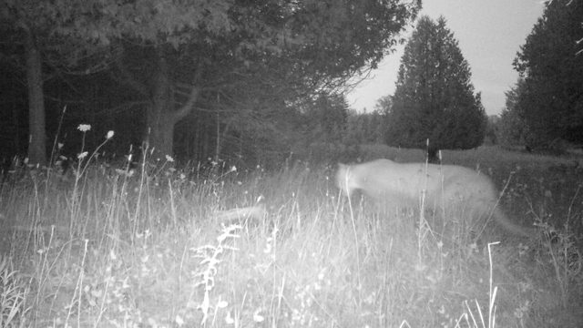 Michigan DNR confirms another cougar sighting