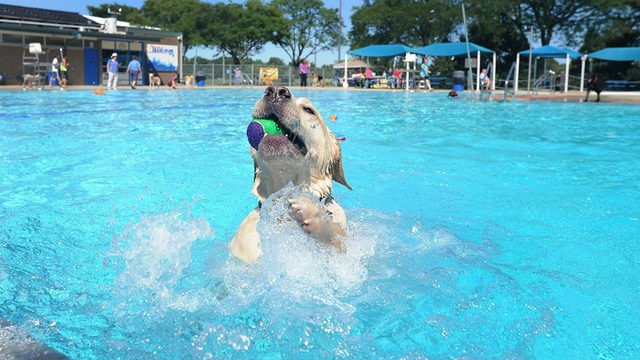 Make your dog's day at Ann Arbor's Dog Swim Wednesday, Thursday