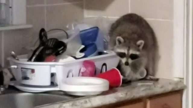 Harper Woods woman fed up with raccoons invading rental home