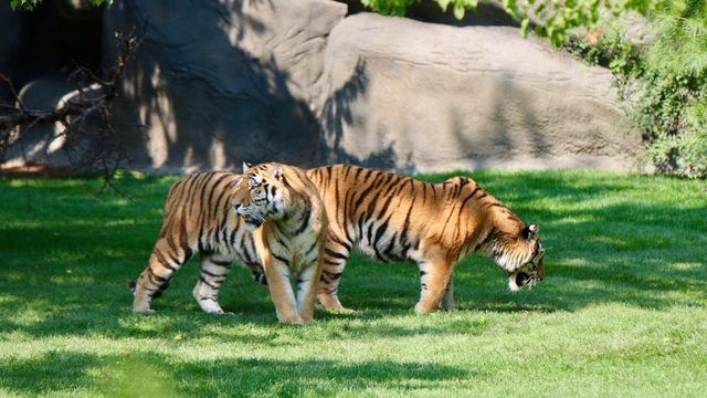Tiger brothers debut in new habitat at Detroit Zoo