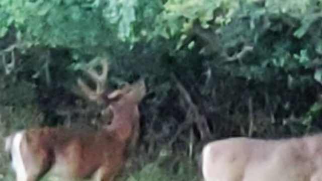 Rising Grosse Ile deer population leads to deer cull