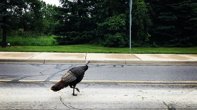 Farewell, North Campus Turkey. Famed jogger chaser killed in Ann Arbor