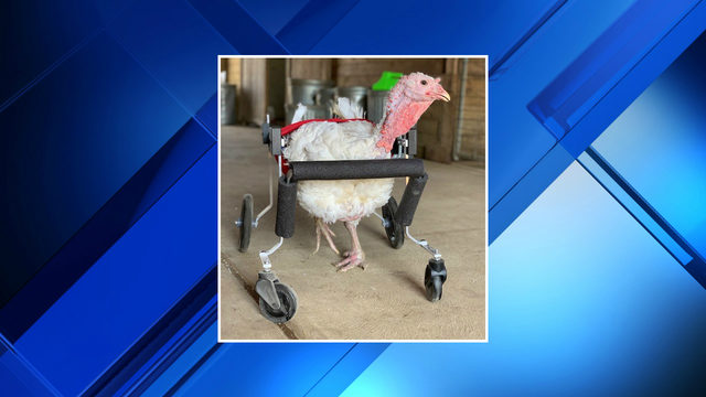 Gracie Lou, turkey that can't walk at Washtenaw County animal sanctuary,…