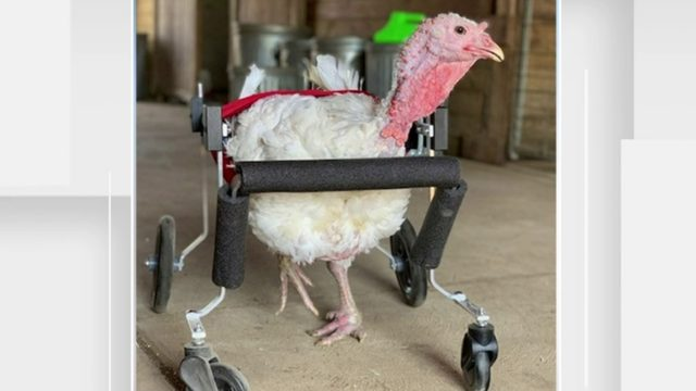 Turkey living near Ann Arbor named Gracie Lou finally gets wheelchair