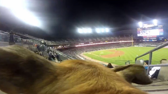 VIDEO: Check out a dog's view of Detroit Tigers Bark at the Park game